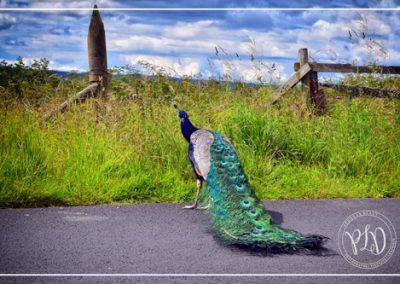 Le paon sur la route